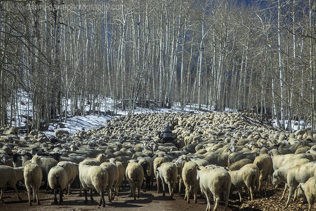 Sheep Herding 101