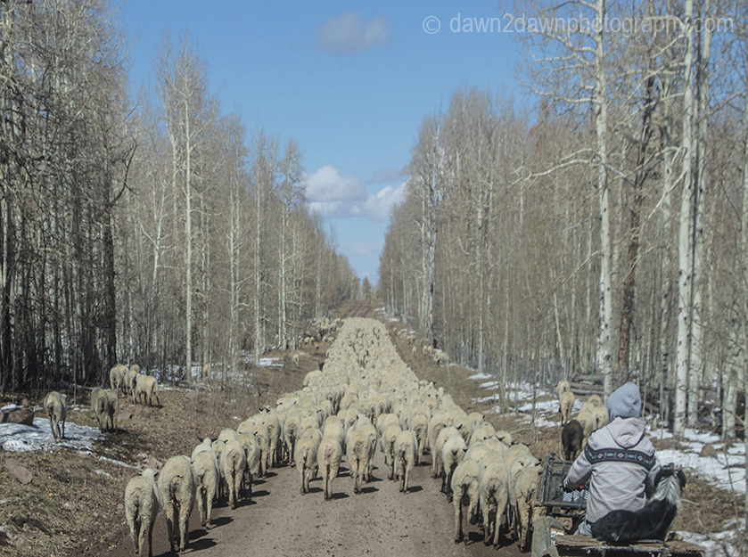 Still Photos Of Large Sheep Herd