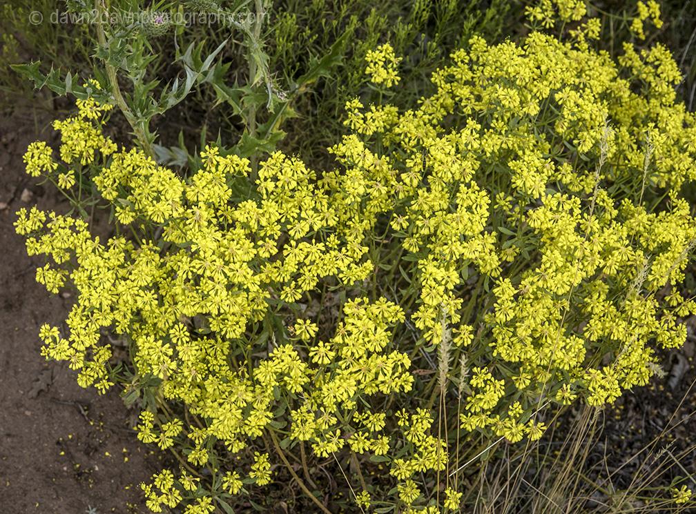 North Rim Flora_222
