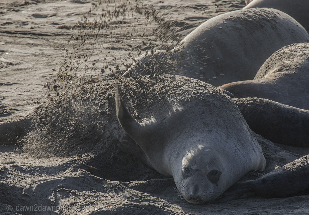 Sounds Of The Elephant Seals